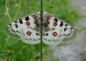 Apollo butterfly by Keith Mudd