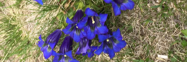 Trumpet Gentians in the Mercantour National Park in South East France